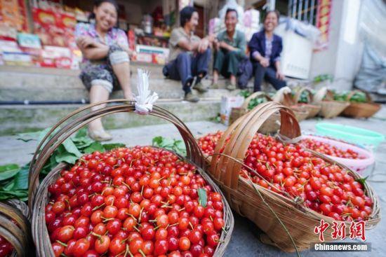 4月13日,贵州省镇宁县募役镇樱桃交易市场,果农在出售樱桃。时下,正是贵州省镇宁县樱桃采摘上市时期,吸引游客及水果商前来试吃采摘。镇宁县樱桃种植面积有5.61万亩,樱桃种植由传统的农户分散种植逐步形成特色产业,2017年带动农户4333户19501人,脱贫2103人,樱桃种植成为农业产业扶贫的特色产业。中新社记者 贺俊怡 摄