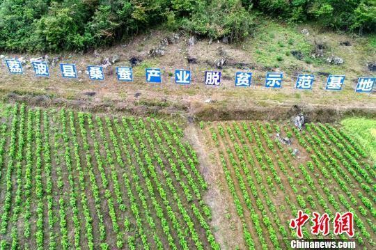 荔波县茂兰镇新开辟的桑树种植基地 莫茂杰 摄