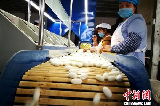 荔波县蚕丝产业龙头企业的分拣蚕茧工段 唐福敬 摄
