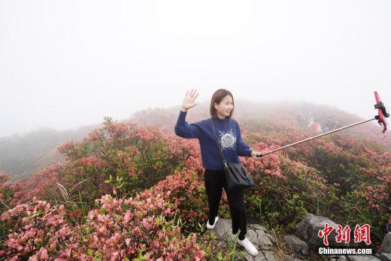 4月25日,贵州省丹寨县龙泉山云雾缭绕,万亩野生杜鹃花争奇斗艳。 中新社记者 贺俊怡 摄