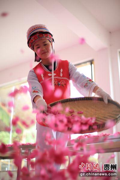 2018年4月27日,贵州省大方县核桃乡马白寨休闲度假村的玫瑰花迎春绽放,当地白族村民正在花丛中采摘玫瑰花,用来制作玫瑰花茶、玫瑰糖、玫瑰鲜花饼、玫瑰点心、玫瑰醋等。