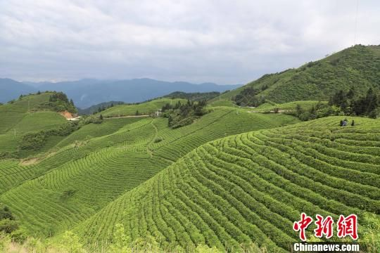 """图为雷山县境内的""""0""""残留茶叶基地。 瞿宏伦 摄"""