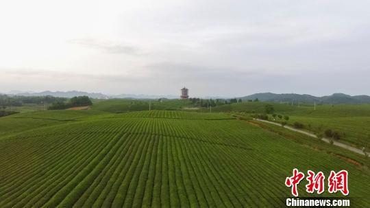 """航拍贵州湄潭""""万亩茶海""""。 瞿宏伦 摄"""