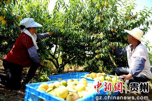 果农正在采摘黄桃。黄庆松 摄
