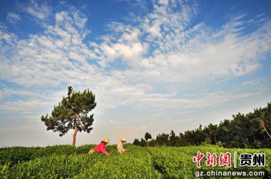 开阳富硒茶园。秦刚摄 开阳县硒产业发展中心供图