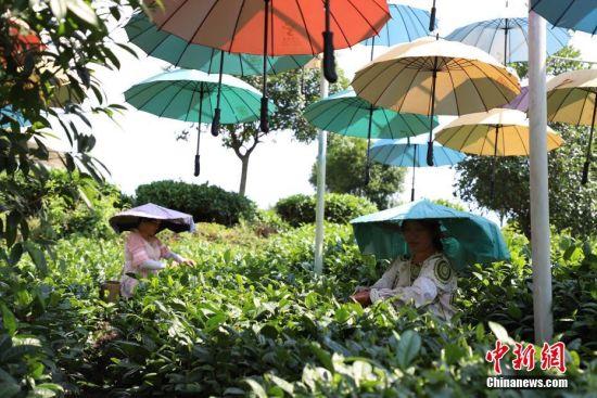 """茶农在湄潭县湄江街道金花村""""七彩部落""""茶山采茶。 瞿宏伦 摄"""