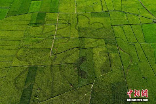 """8月10日,俯瞰位于贵州省兴义市万峰林景区的""""福""""字稻田景观。贵州省兴义市万峰林景区""""福""""字稻田景观采用常规水稻做边界,紫叶水稻构图的定植模式,根据田块大小和视觉效果确定图案斑块作业面积,在水稻生长的苗期、花期,通过水稻叶色、花色的自然变化展现特殊色彩效果。 中新社记者 贺俊怡 摄"""