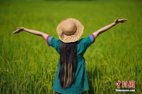 """贵州省兴义市万峰林景区""""福""""字稻田景观采用常规水稻做边界,紫叶水稻构图的定植模式,根据田块大小和视觉效果确定图案斑块作业面积,在水稻生长的苗期、花期,通过水稻叶色、花色的自然变化展现特殊色彩效果。图为一名游客在""""福""""字稻田里游玩。 中新社记者 贺俊怡 摄"""