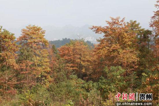 毕节市织金县桂花林场(县林业局提供)