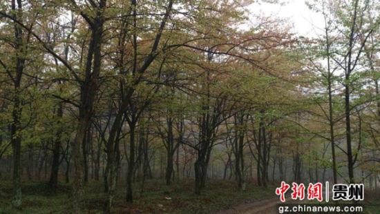 织金县桂花林场(县林业局提供)