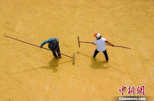 图为务川县黄都镇民众正在晾晒稻谷。 田东 摄