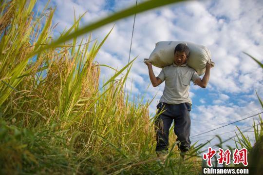 图为务川县黄都镇民众在搬运打包好的稻谷。 田东 摄