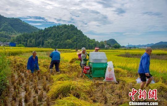 图为务川县黄都镇民众正在脱粒。 田东 摄