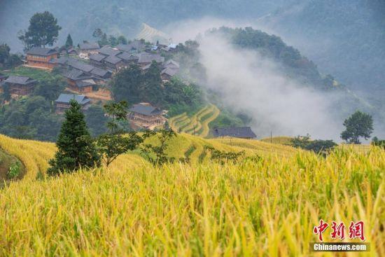 远眺贵州省榕江县阳开梯田秋色,金黄的水稻与苗寨相映成趣。 中新社记者 贺俊怡 摄
