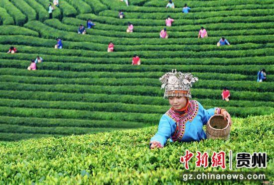 图为都匀毛尖茶园。黔南宣传部供图