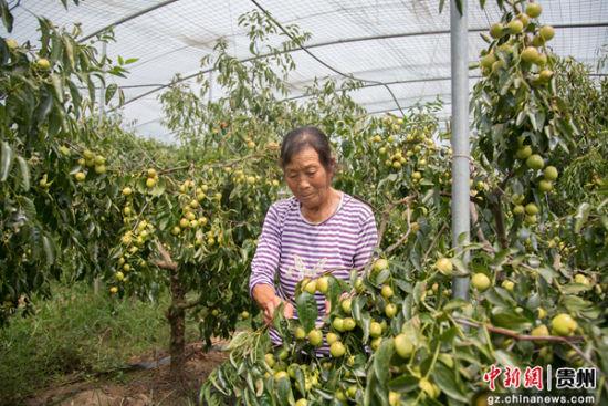 村民们正忙着采摘蜜枣。肖浩