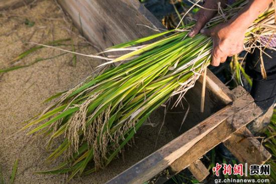 9月19日,在贵州省大方县小屯乡梯田,当地村民在收割水稻。时下,地处贵州省大方县小屯乡梯田大面积成熟,当地村民抢抓有利农时收割稻谷。罗大富 摄