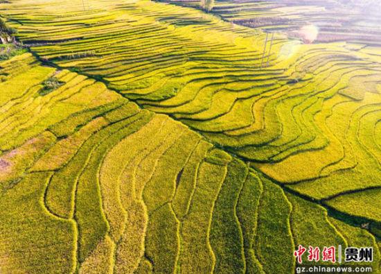 时下,地处贵州省大方县小屯乡梯田大面积成熟,当地村民抢抓有利农时
