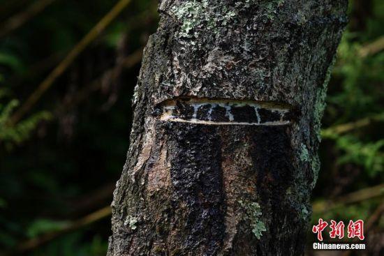 """9月22日,贵州大方星宿乡,漆树的切口流出生漆。48岁的刘明合每年4月至9月,通过割漆有三万元左右的收入。在贵州省大方县,有一句流传在割漆人中间的口诀:""""芒种绑树,夏至开刀,过了霜降就收刀。""""说的是每年从初夏到深秋的4个多月的时间里,因水分挥发快,阳光充足,割出的漆质量最好,是大山里割漆人每年最忙的时候。近年来,贵州大方漆器因互联网线上销售量不断增长,对当地产的优质生漆需求量增加,这让当地很多割漆人重新拾起""""割漆""""这门古老的手艺。割漆人早出晚归,每天行走几十里的山路,一斤生漆需要割漆人在漆树上千次的切割方可得到。中新社记者 贺俊怡 摄"""