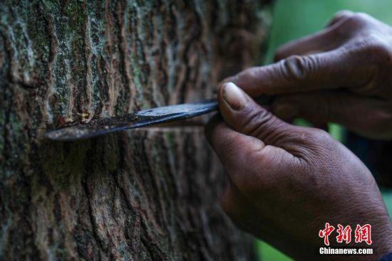 """9月23日,贵州大方绿塘乡,58岁割漆人胡文勋(右)在割漆。在贵州省大方县,有一句流传在割漆人中间的口诀:""""芒种绑树,夏至开刀,过了霜降就收刀。""""说的是每年从初夏到深秋的4个多月的时间里,因水分挥发快,阳光充足,割出的漆质量最好,是大山里割漆人每年最忙的时候。近年来,贵州大方漆器因互联网线上销售量不断增长,对当地产的优质生漆需求量增加,这让当地很多割漆人重新拾起""""割漆""""这门古老的手艺。割漆人早出晚归,每天行走几十里的山路,一斤生漆需要割漆人在漆树上千次的切割方可得到。中新社记者 贺俊怡 摄"""