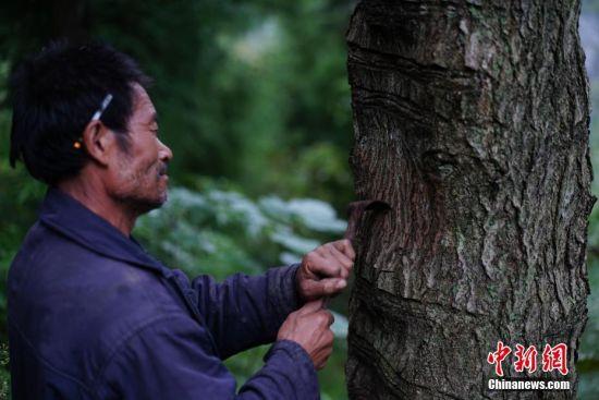 """9月23日,贵州大方绿塘乡,58岁割漆人胡文勋在一棵老漆树上割漆。在贵州省大方县,有一句流传在割漆人中间的口诀:""""芒种绑树,夏至开刀,过了霜降就收刀。""""说的是每年从初夏到深秋的4个多月的时间里,因水分挥发快,阳光充足,割出的漆质量最好,是大山里割漆人每年最忙的时候。近年来,贵州大方漆器因互联网线上销售量不断增长,对当地产的优质生漆需求量增加,这让当地很多割漆人重新拾起""""割漆""""这门古老的手艺。割漆人早出晚归,每天行走几十里的山路,一斤生漆需要割漆人在漆树上千次的切割方可得到。中新社记者 贺俊怡 摄"""