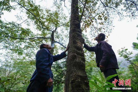 """9月23日,贵州大方绿塘乡,58岁割漆人胡文勋和兄长胡文顺抬头仰望一棵树身满是切口的漆树。在贵州省大方县,有一句流传在割漆人中间的口诀:""""芒种绑树,夏至开刀,过了霜降就收刀。""""说的是每年从初夏到深秋的4个多月的时间里,因水分挥发快,阳光充足,割出的漆质量最好,是大山里割漆人每年最忙的时候。近年来,贵州大方漆器因互联网线上销售量不断增长,对当地产的优质生漆需求量增加,这让当地很多割漆人重新拾起""""割漆""""这门古老的手艺。割漆人早出晚归,每天行走几十里的山路,一斤生漆需要割漆人在漆树上千次的切割方可得到。中新社记者 贺俊怡 摄"""