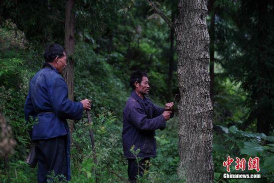 """9月23日,贵州大方绿塘乡,58岁的割漆人胡文勋(右)和兄长胡文顺在山上割漆,他们在农闲之余,割生漆补贴家用。在贵州省大方县,有一句流传在割漆人中间的口诀:""""芒种绑树,夏至开刀,过了霜降就收刀。""""说的是每年从初夏到深秋的4个多月的时间里,因水分挥发快,阳光充足,割出的漆质量最好,是大山里割漆人每年最忙的时候。近年来,贵州大方漆器因互联网线上销售量不断增长,对当地产的优质生漆需求量增加,这让当地很多割漆人重新拾起""""割漆""""这门古老的手艺。割漆人早出晚归,每天行走几十里的山路,一斤生漆需要割漆人在漆树上千次的切割方可得到。中新社记者 贺俊怡 摄"""
