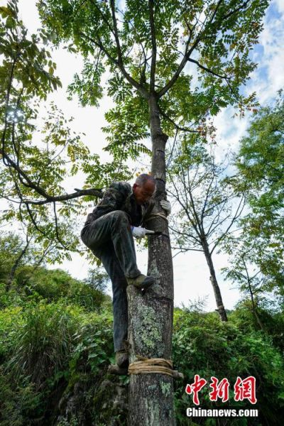 """9月22日,贵州大方星宿乡,割漆人刘明合在6米高的漆树上割漆,48岁的刘明合每年4月至9月,通过割漆有三万元左右的收入。在贵州省大方县,有一句流传在割漆人中间的口诀:""""芒种绑树,夏至开刀,过了霜降就收刀。""""说的是每年从初夏到深秋的4个多月的时间里,因水分挥发快,阳光充足,割出的漆质量最好,是大山里割漆人每年最忙的时候。近年来,贵州大方漆器因互联网线上销售量不断增长,对当地产的优质生漆需求量增加,这让当地很多割漆人重新拾起""""割漆""""这门古老的手艺。割漆人早出晚归,每天行走几十里的山路,一斤生漆需要割漆人在漆树上千次的切割方可得到。中新社记者 贺俊怡 摄"""