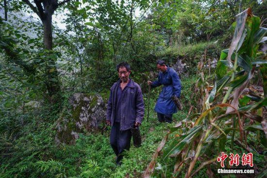 """9月23日,贵州大方绿塘乡,58岁割漆人胡文勋(前)和兄长胡文顺在山上割漆,他们在农闲之余,割生漆补贴家用。在贵州省大方县,有一句流传在割漆人中间的口诀:""""芒种绑树,夏至开刀,过了霜降就收刀。""""说的是每年从初夏到深秋的4个多月的时间里,因水分挥发快,阳光充足,割出的漆质量最好,是大山里割漆人每年最忙的时候。近年来,贵州大方漆器因互联网线上销售量不断增长,对当地产的优质生漆需求量增加,这让当地很多割漆人重新拾起""""割漆""""这门古老的手艺。割漆人早出晚归,每天行走几十里的山路,一斤生漆需要割漆人在漆树上千次的切割方可得到。 中新社记者 贺俊怡 摄"""