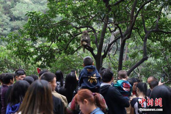 10月6月,公园内的野生猕猴吸引游客围观。当日,是国庆黄金周第六天,假期临近结束,贵州省贵阳市黔灵山公园游客依然络绎不绝。中新社记者 瞿宏伦 摄