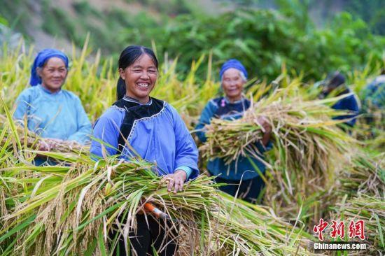 10月6日,贵州望谟九洋村,布依族民众在田间收割稻谷,喜笑颜开。金秋时节,贵州各地进入秋收繁忙时候,民众抢抓农时,喜迎丰收。中新社记者 贺俊怡 摄