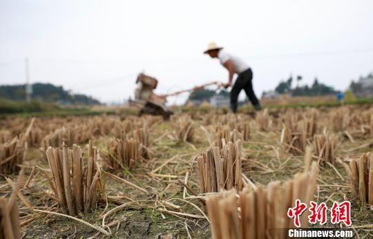 图为村民在犁地翻土。 黄晓海 摄