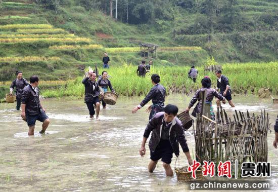 图为一名侗族同胞在稻田里抓到一条稻花鱼。 吴德军 摄