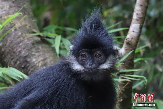 """10月28日,记者跟随第四季""""美丽中国・跨界科考""""活动的科考人员来到位于贵州省铜仁市沿河土家族自治县的麻阳河国家级自然保护区,探访中国一级保护动物黑叶猴的栖息环境。据悉,黑叶猴在该保护区分布有72群500余只,是全球黑叶猴种群分布最为密集、种群数量最大的地区。俗称乌猿的黑叶猴,2008年被世界自然保护联盟确定为濒危物种,目前该物种在越南和中国的贵州、广西、重庆等地生存。 中新社记者 瞿宏伦 摄"""