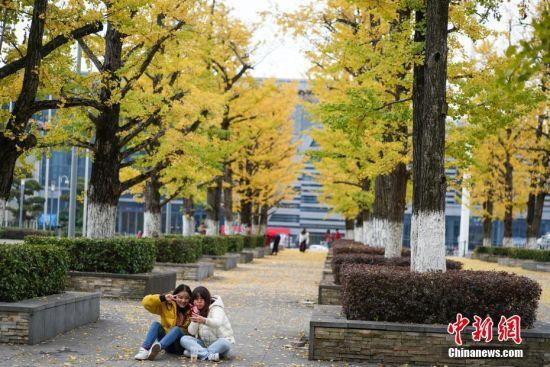 10月29日,贵阳市观山湖区会展中心金黄的银杏景色,吸引市民观赏、拍照留念。中新社记者 贺俊怡 摄