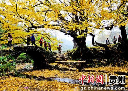 妥乐村银杏树景区。陈维象 摄