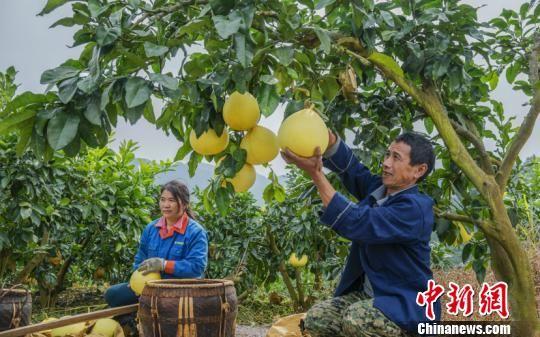 果农正在摘柚子。 毛权武 摄