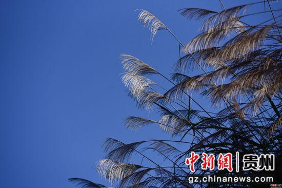 这是11月26日在贵州省丹寨县排调镇拍摄的芦苇。杨武魁 摄