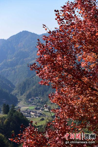 这是11月26日在贵州省丹寨县排调镇巫起村拍摄的枫树。杨武魁 摄