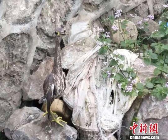 """全世界30种最濒危鸟类之一――海南虎斑�Z""""现身""""贵州"""