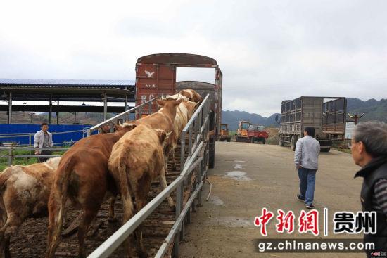 促进了原住地规模化种植-肉牛养殖场调入肉牛