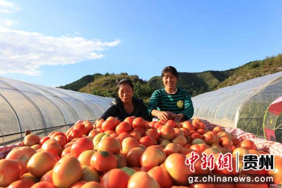 促进了原住地规模化种植-蔬菜大棚喜获丰收_副本