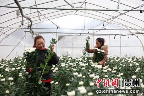 农户在采摘鲜花