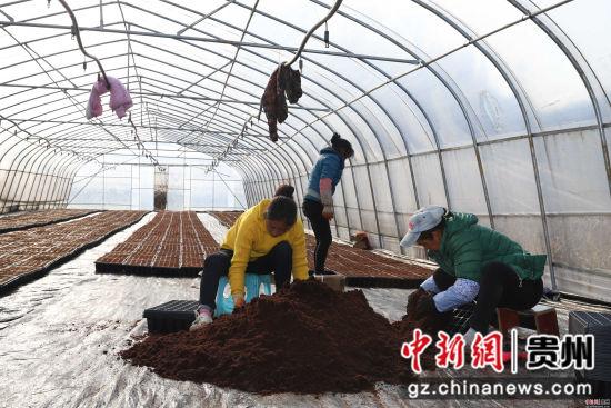 农户在准备椰糠无土栽培。