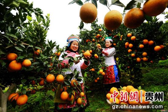 图1:12月1日,贵州省榕江县国有林场苗族场员在古州镇牛背坡脐橙基地采摘脐橙。