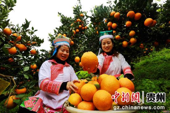 图2:12月1日,贵州省榕江县国有林场苗族场员在古州镇牛背坡脐橙基地将采摘的脐橙装筐。