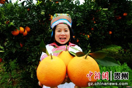 12月1日,贵州省榕江县国有林场苗族场员在古州镇牛背坡脐橙基地采摘脐橙。