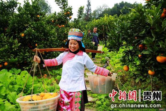 12月1日,贵州省榕江县国有林场苗族场员在古州镇牛背坡脐橙基地挑运脐橙。