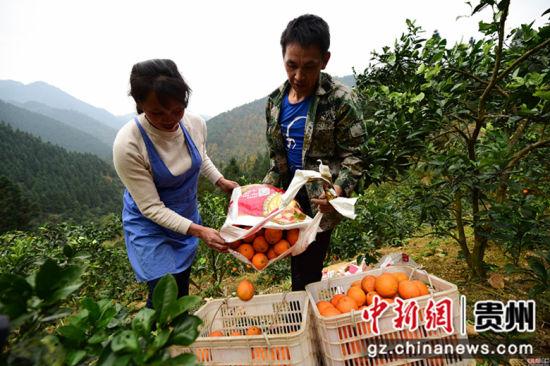 """龙庆军(右)、王兴兰(左)夫妇将采摘的脐橙装框,多年来,这对""""脐橙夫妇""""一直是当地村民认可的产业致富""""领头雁""""。杨武魁 摄"""