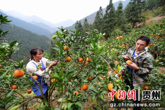 龙庆军(右)、王兴兰(左)夫妇在脐橙种植基地里采摘脐橙,近20亩的脐橙每年有5万多元的收入。杨武魁 摄